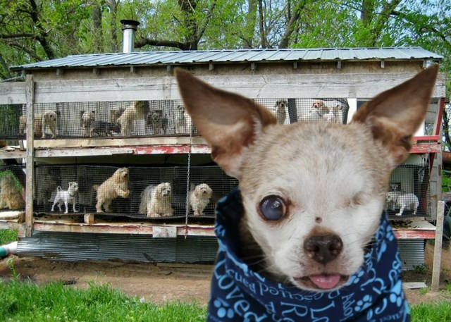 Learn About Puppy Mills – Harley's Dream