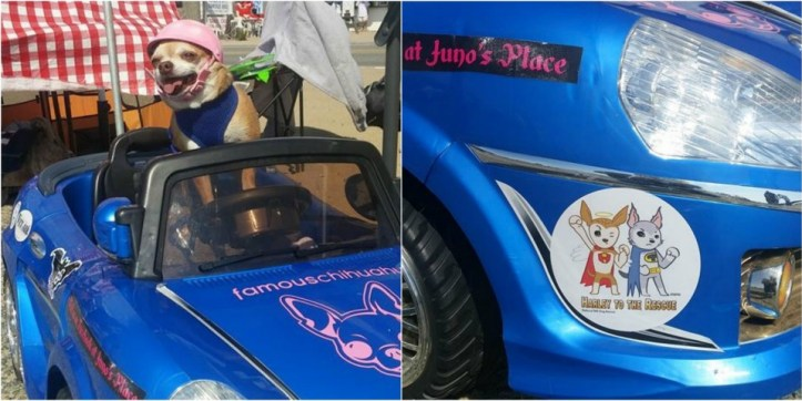 """Juno and her car - displaying a """"Harley & Teddy"""" sticker!"""