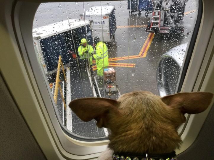 Harley watching the baggage handlers before our flight took off.