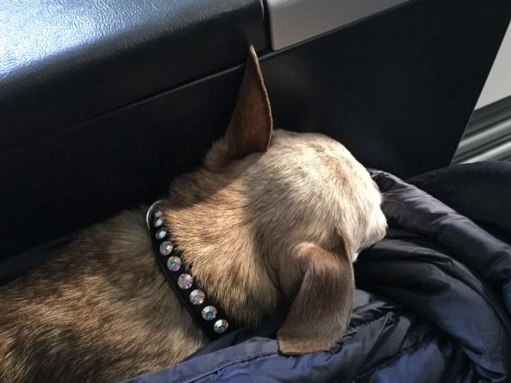 Harley sleeping during the flight.