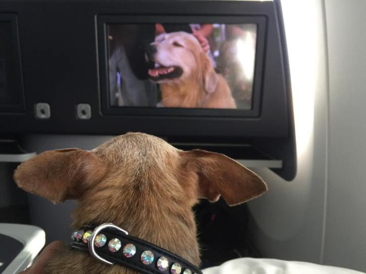 Harley watching Homeward Bound during a flight.