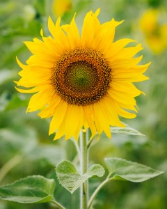 harleys-sunflower