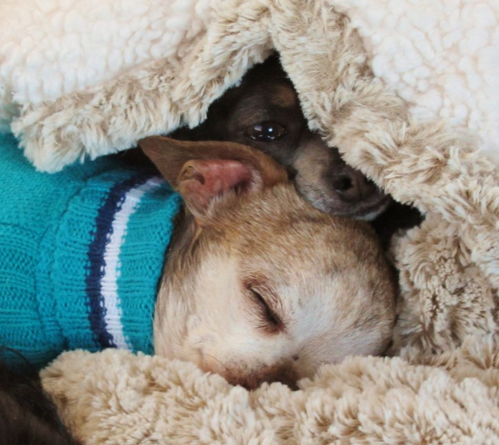 harley-sleeping-sweater-cricket-peeking-blanket