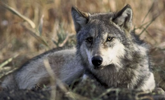 1280px-Canis_lupus_laying_in_grass