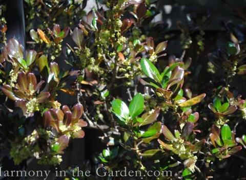 Coprosma 'Roys Red' winter foliage