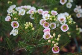 Chamelaucium 'Mathilda'
