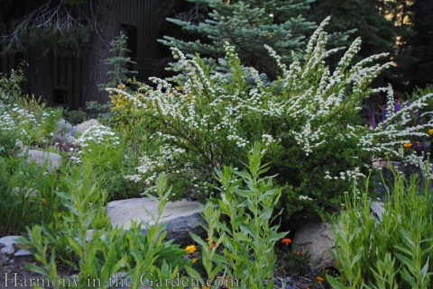 Spirea prunifolia 'Bridal Wreath' copy