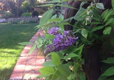 'Amethyst Falls' wisteria