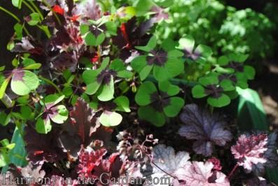 Oxalis and Heuchera color echo copy