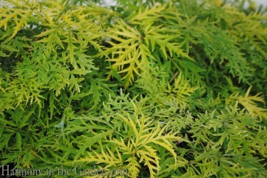 Sambucus 'Lemon Lace'