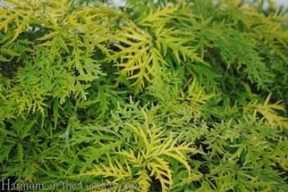 Sambucus 'Lemon Lace'
