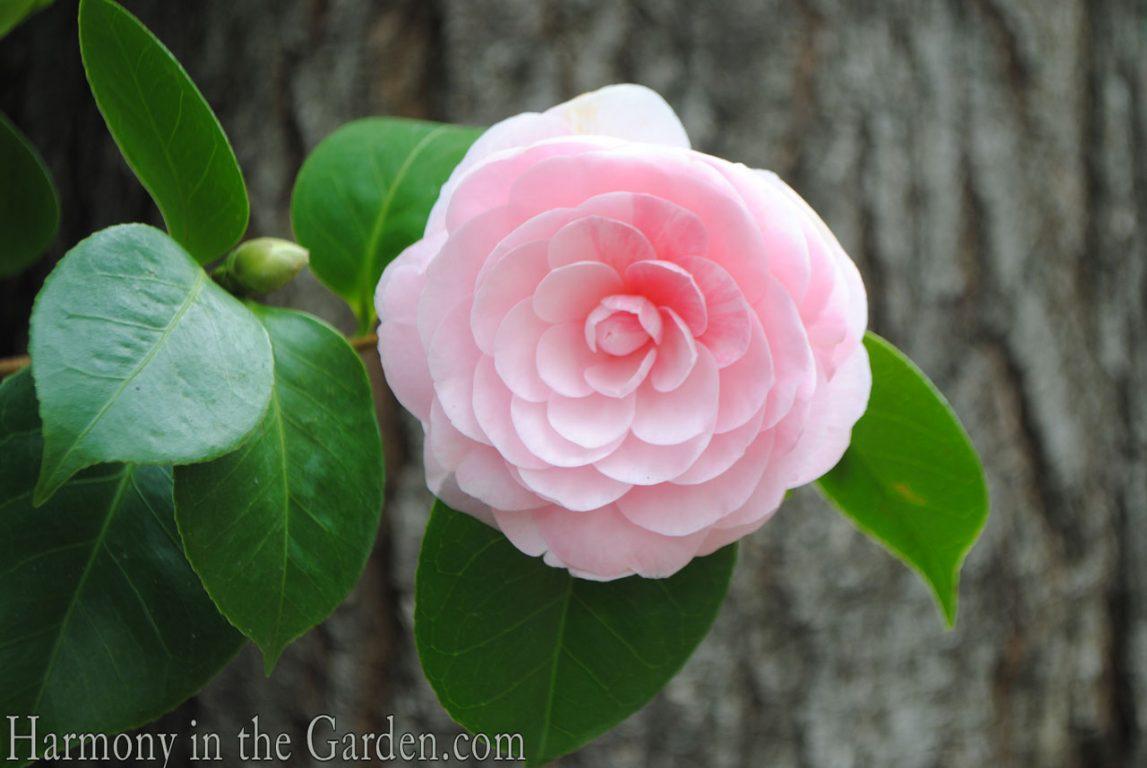Camellia-Pearl-Maxwell.jpg