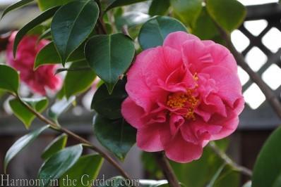 Camellia 'Scentsation'
