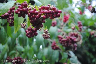 Cestrum berries