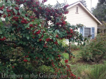 Cotoneaster parneyi