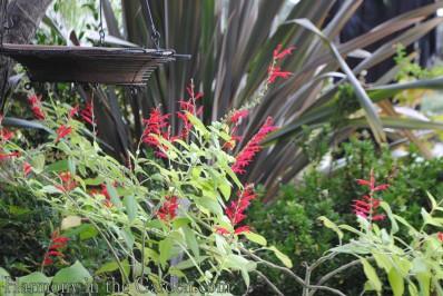 Salvia elegans (Pineapple Sage)