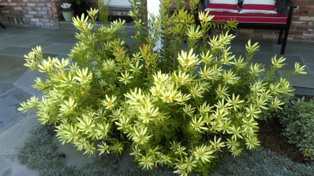 Leucadendron 'Little Bits'
