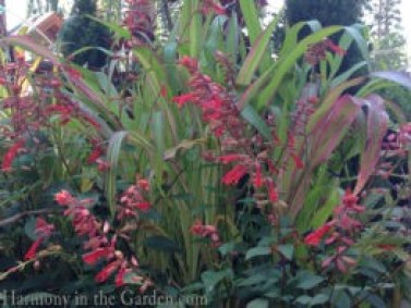 salvia-embers-wish-and-corn-field-of-dreams