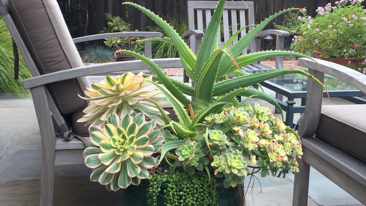 A European Twist-Succulent Container-Drought Tolerant