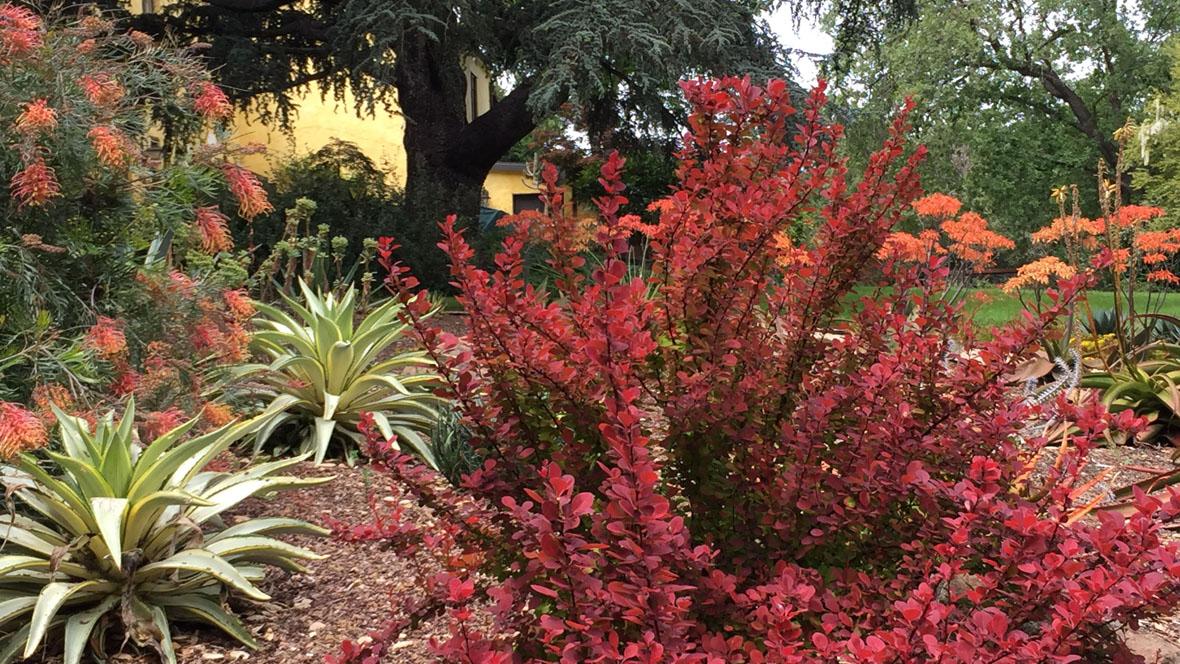 Goodbye Lawn, Hello Succulents-Berberis-Grevillea