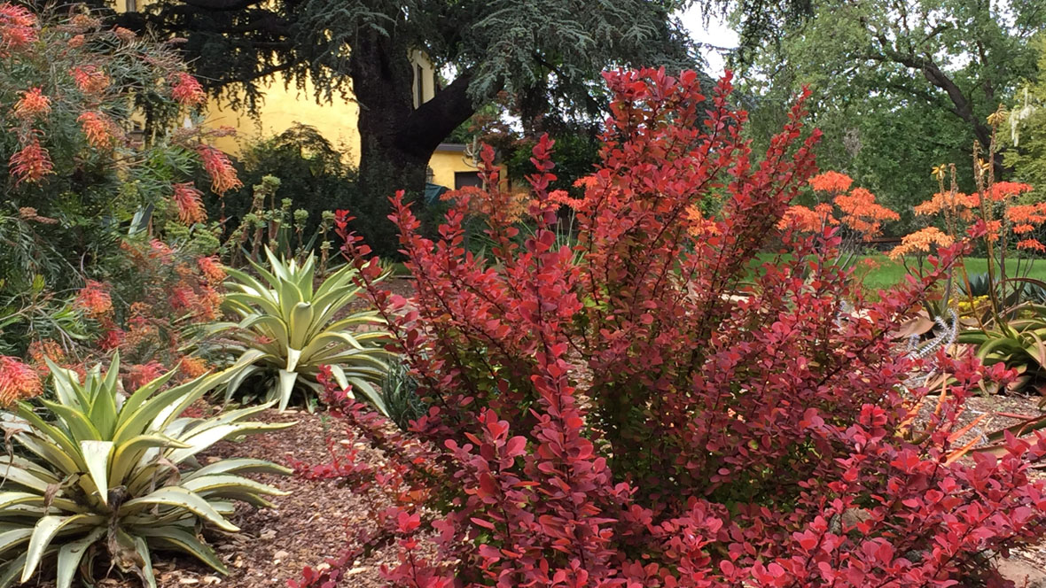 Goodbye Lawn, Hello Succulents-Berberis-Grevillea