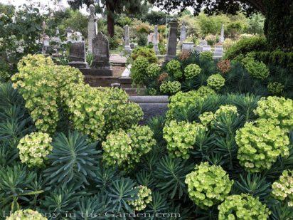 sacramento historic rose garden-california native garden-northern california-pioneer cemetery-euphorbia wulfenii