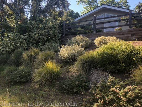 lomandra-grevillea-Tiers-Slopes-Northern California Gardens