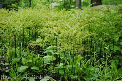 Adiantum pedatum (northern maidenhair fern) copy