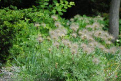 Anemone multifida (Pacific Anemone) seedheads