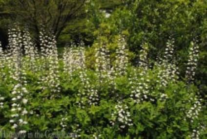 Baptisia alba (white wild indigo) copy