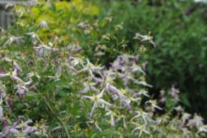 Clematis trinernata 'Rubromarginata'