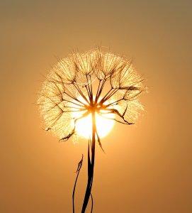 Dandelion framed with setting sun