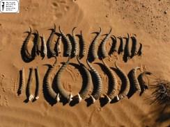 Cuernos de gacela Dorcas/Cuvier//Mohor