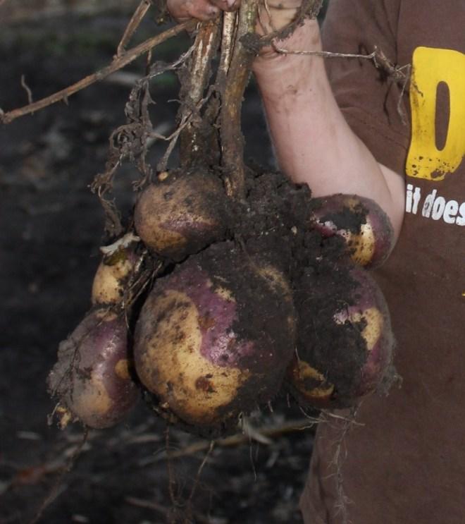 9-23-14 Masquerade Potatoes