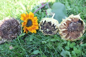 As we cleaned up the sunflowers, it was fun to see the different stages that the sunflower was in, from blossom to seed to and almost empty head due to the birds enjoying the sunflower seeds.