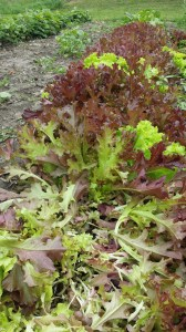 This is what the lettuce looks like when you cut it. Then it grows back within a few days to look as beautiful as the lettuce in the back of the picture.