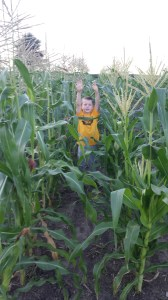 The sweet corn tassel is a lighter yellow. Notice the differences - Mother Nature truly produces amazing colors.