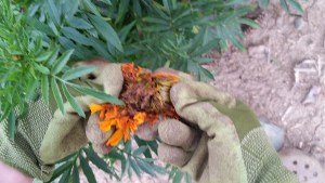 Did you know that you can collect the seeds from your Marigolds. Check it out, inside a dead or dried up flower are the seeds. Plant them and watch them grow.