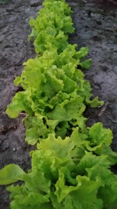 It was nice to see the young lettuce and spinach growing in the garden and ready for your BLT's and salads. Enjoy we have more growing around the garden.