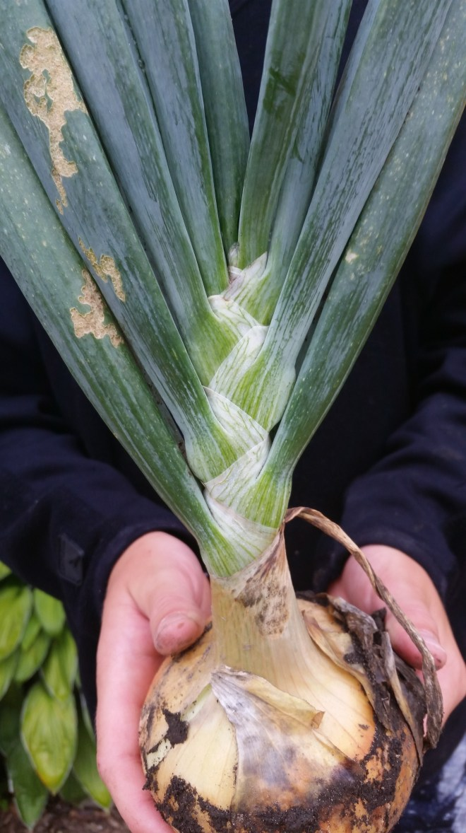 a onion