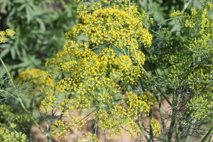 Dill is available for canning, and it helps to draw in beneficial insects.