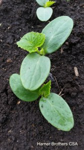Did you know that cucumber plants when they emerge from the ground smell just like fresh cut cumbers!