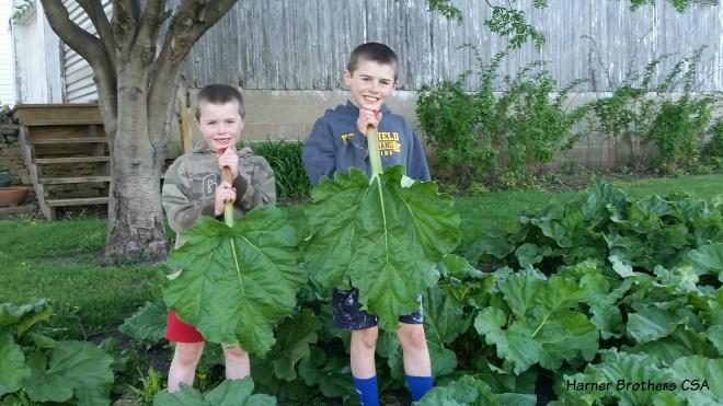 5-4-16 Rhubarb