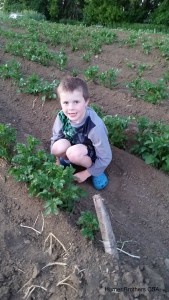 Sam next to the potatoes in our garden that have been hilled twice this season. These potatoes will be about 2 feet high by end of season and will produce potatoes the size you find in the grocery store. Potato plants outside during the growing season in Minnesota put their energy into making potatoes below ground versus trying or reach for as much sunlight and warmth as possible like we saw in the kindergarten experiment.