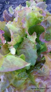 Prizeleaf Lettuce
