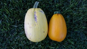 Spaghetti Squash on the left and Golden Egg Hybrid Summer Squash on the right.