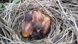 Farmers and ranchers across the United States provide a great deal of wildlife habit. As we were working in the garden, we discovered this small nest of newly hatched birds. The boys were so excited to simply watch these young lives.