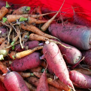 These carrots were harvested today before the ground froze and froze the carrots in the ground. The winter weather seems to be finally creeping in on us with 18 degree weather in the forcast.