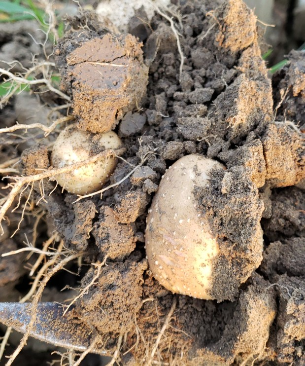 Life is Like Digging Potatoes