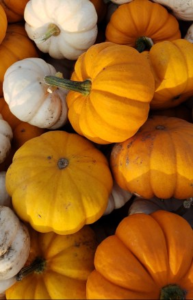 Jack-be-Little and Baby Boo Pumpkins